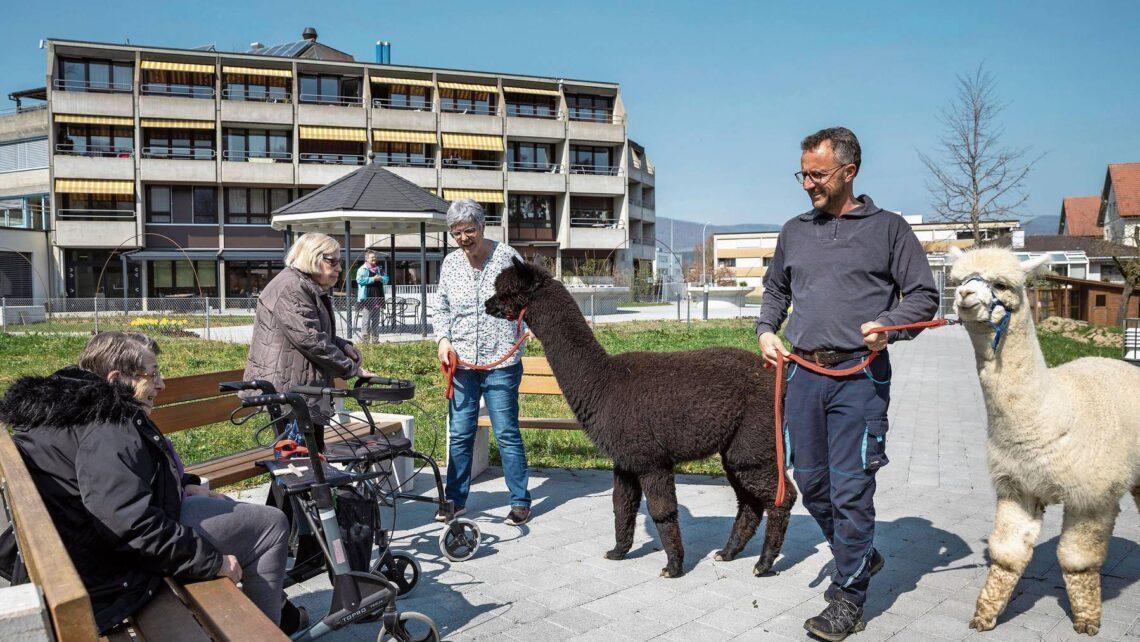 Erste Begegnungen der Bewohnerinnen mit den Tieren, die das Alterszentrum beleben sollen. Neue Attraktion im Brüggli Park: Die noch namenlosen Alpakas.